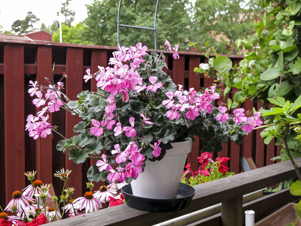 pelargonia, calientepink