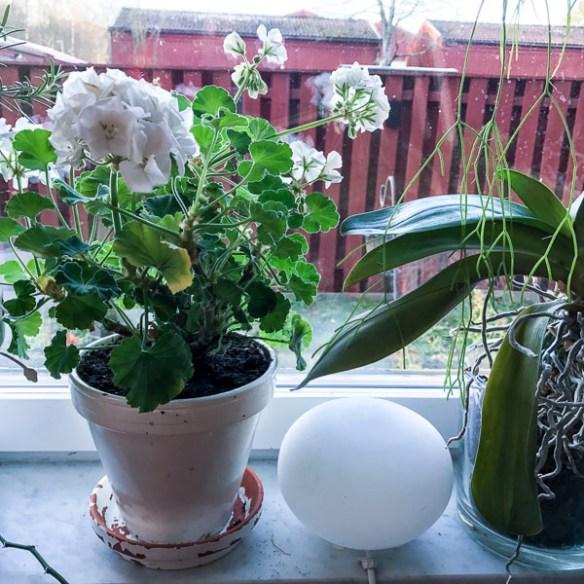 kitchenplants, pelargonia
