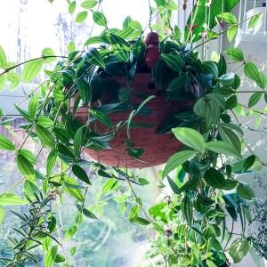 kitchenplants