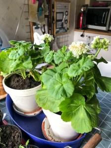 Geranium, pelargonia of the year 2017