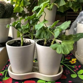 White geraniums