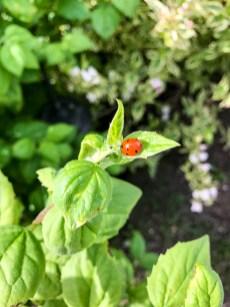 ladybug20170616