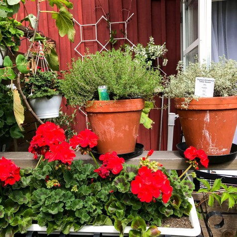 Pelargonias and thyme