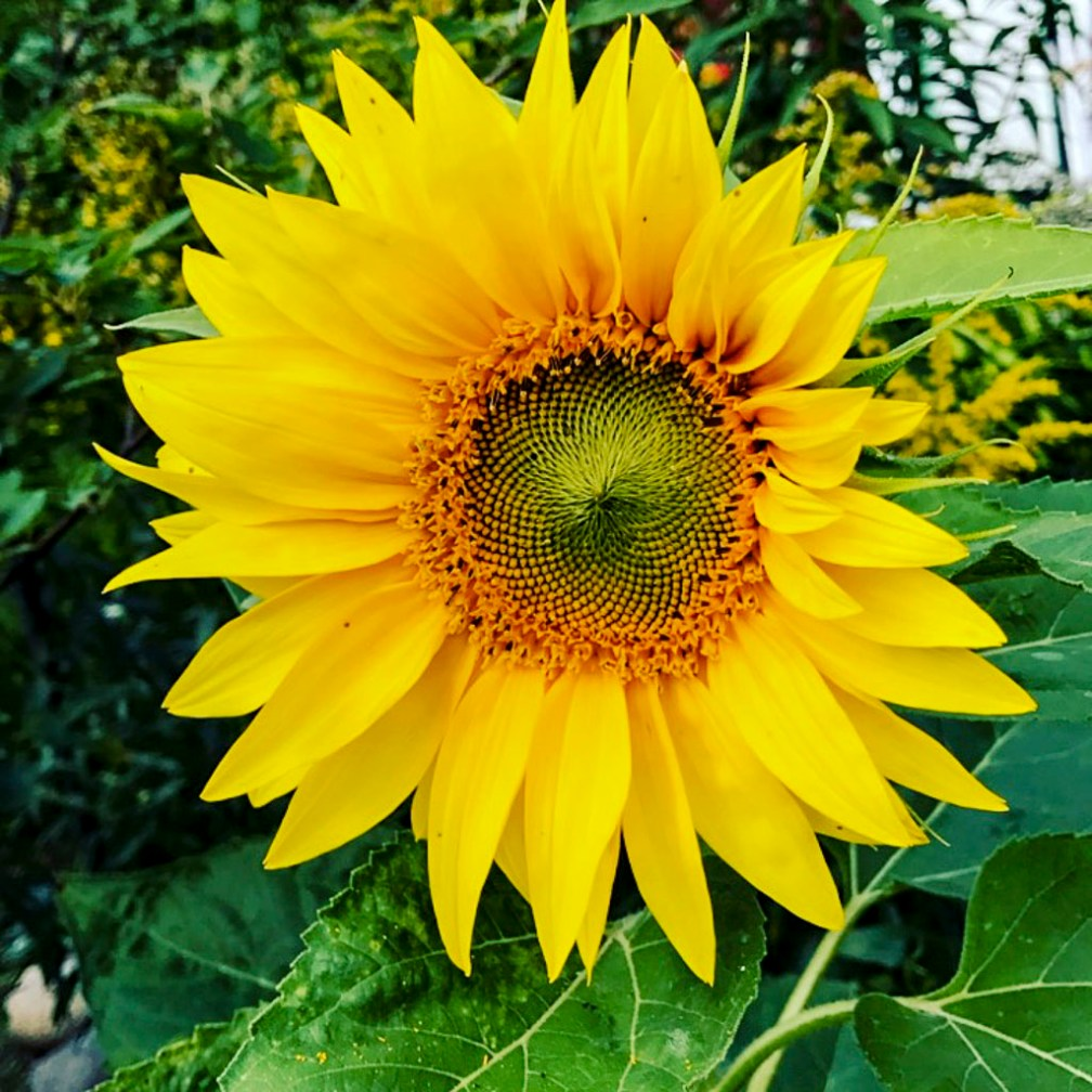 sunflower, solros