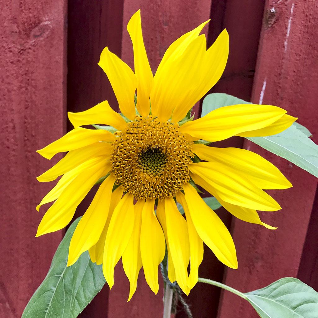 sunflower, solros