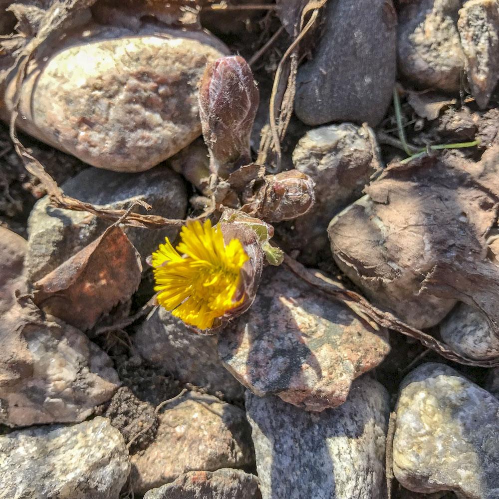 tussilago, springflower