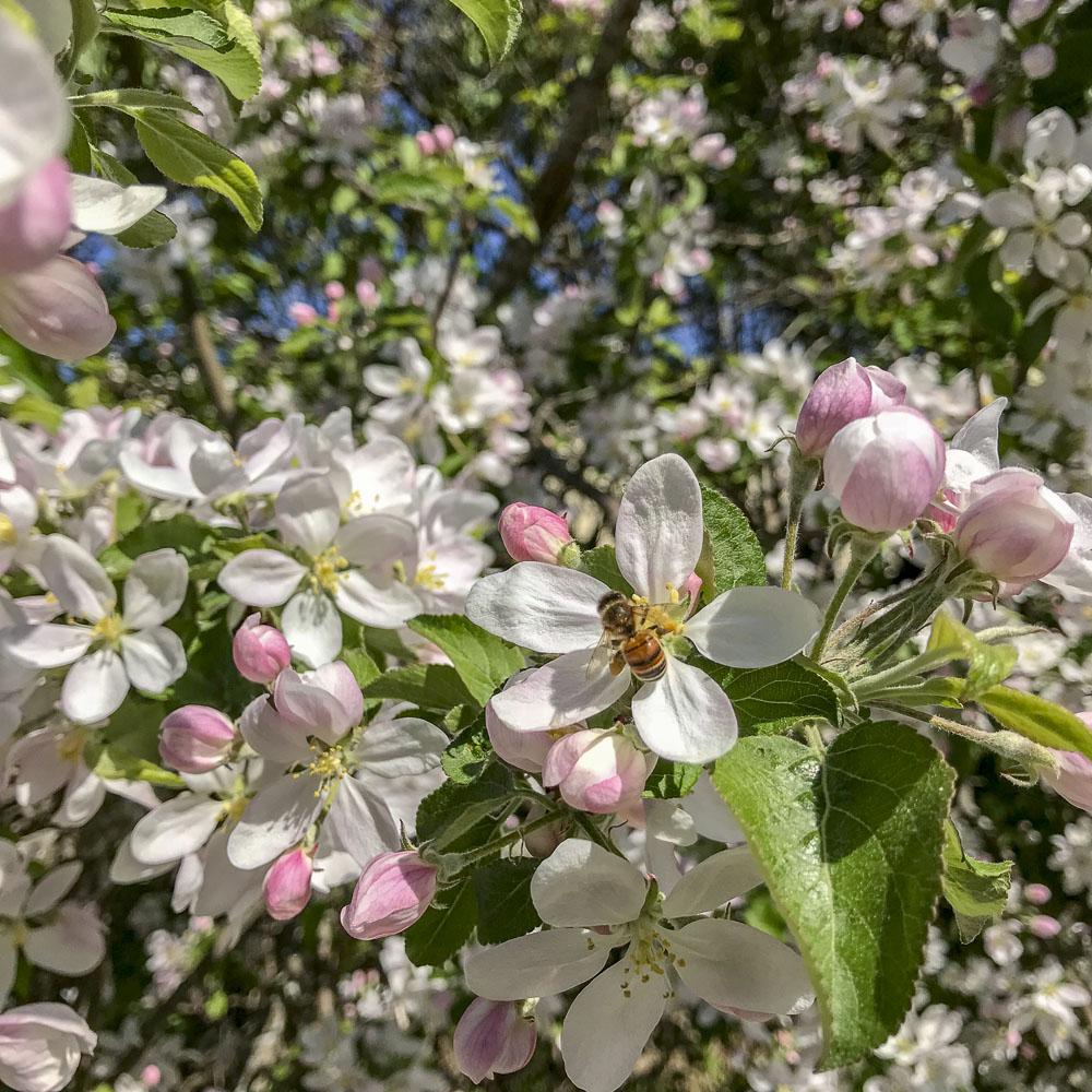 appleblossoms, springtime, summer, garden