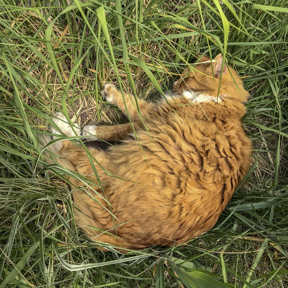 gustav, cat, grass, springtime, summer, garden