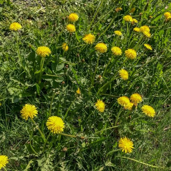 dandelions. maskrosor, springtime, summer, garden