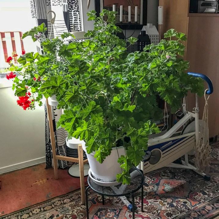 Pelargonia Attar of roses
