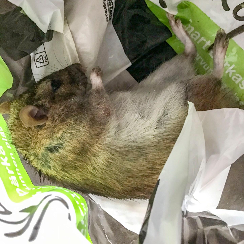 rat, deadrat