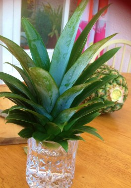 Place the pineapple plant in a glass of water for two weeks