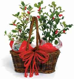 Grow your own holly berry for Christmas. ! #hollyberry