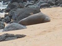 Hawaiian monk seal at Larsen beach