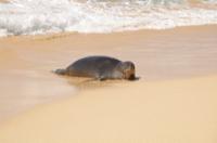 Hawaiian monk seal at the Kiahuna beach