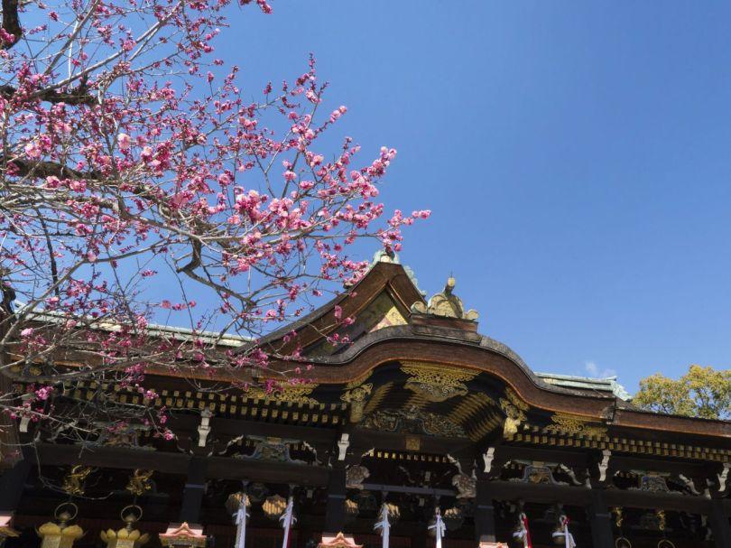 Le beniwakonbai en fleur devant le hall principal, un bâtiment désigné trésor national.