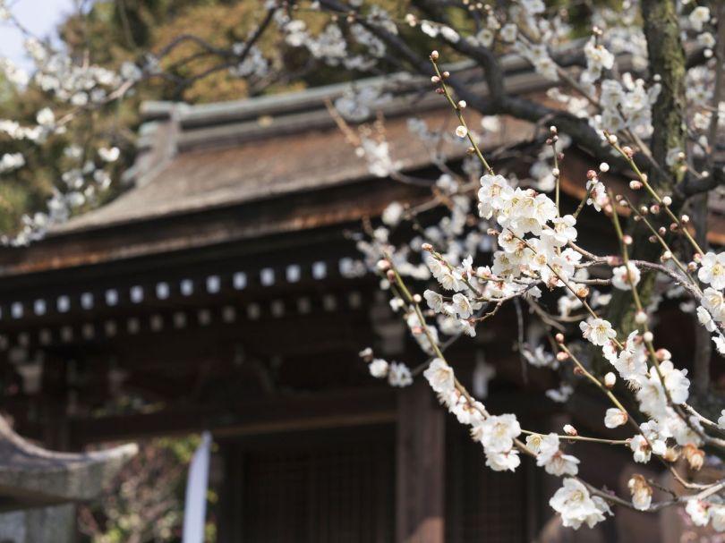 Fleur délicate et blanche devant Serikawa Tenmangū.