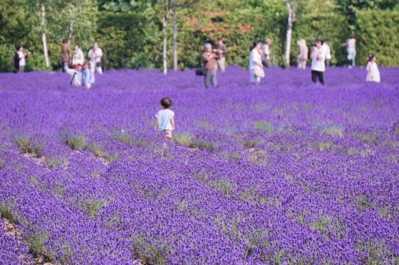 Fields covered in violet are full of visitors wielding cameras.