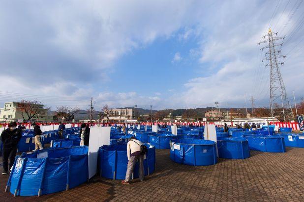 El 7 y 8 de noviembre de 2020 se celebró la 60.ª edición de la Feria de Carpas Nishikigoi de la Prefectura de Niigata en la Community Plaza del gimnasio de la ciudad de Ojiya. Los visitantes se asoman a las piletas azules para admirar las carpas.