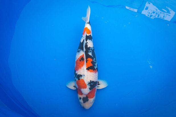 Esta carpa Shōwa sanshoku del criadero Isa obtuvo el Premio del Director de la Agencia de Pesca (segundo lugar general) en la Feria de Carpas Nishikigoi de la Prefectura de Niigata.