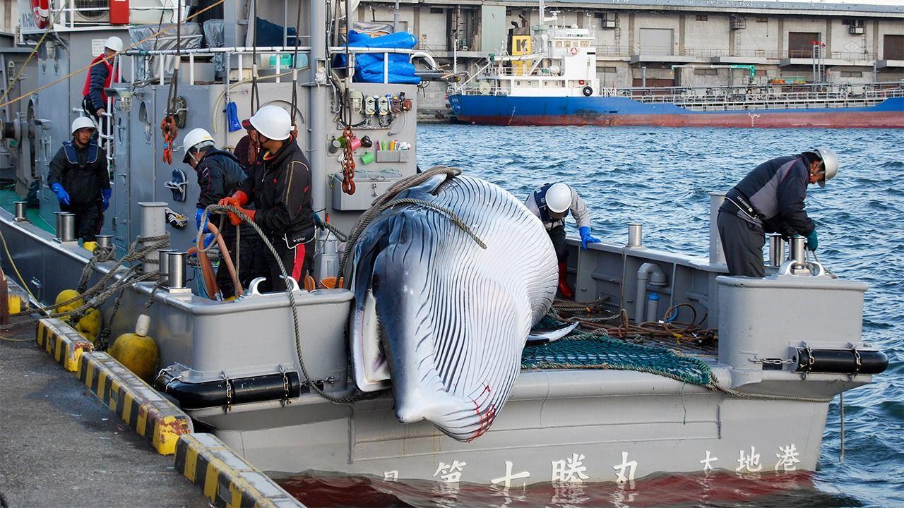 日本捕鯨のIWC脫退:その本當の意味 | nippon.com