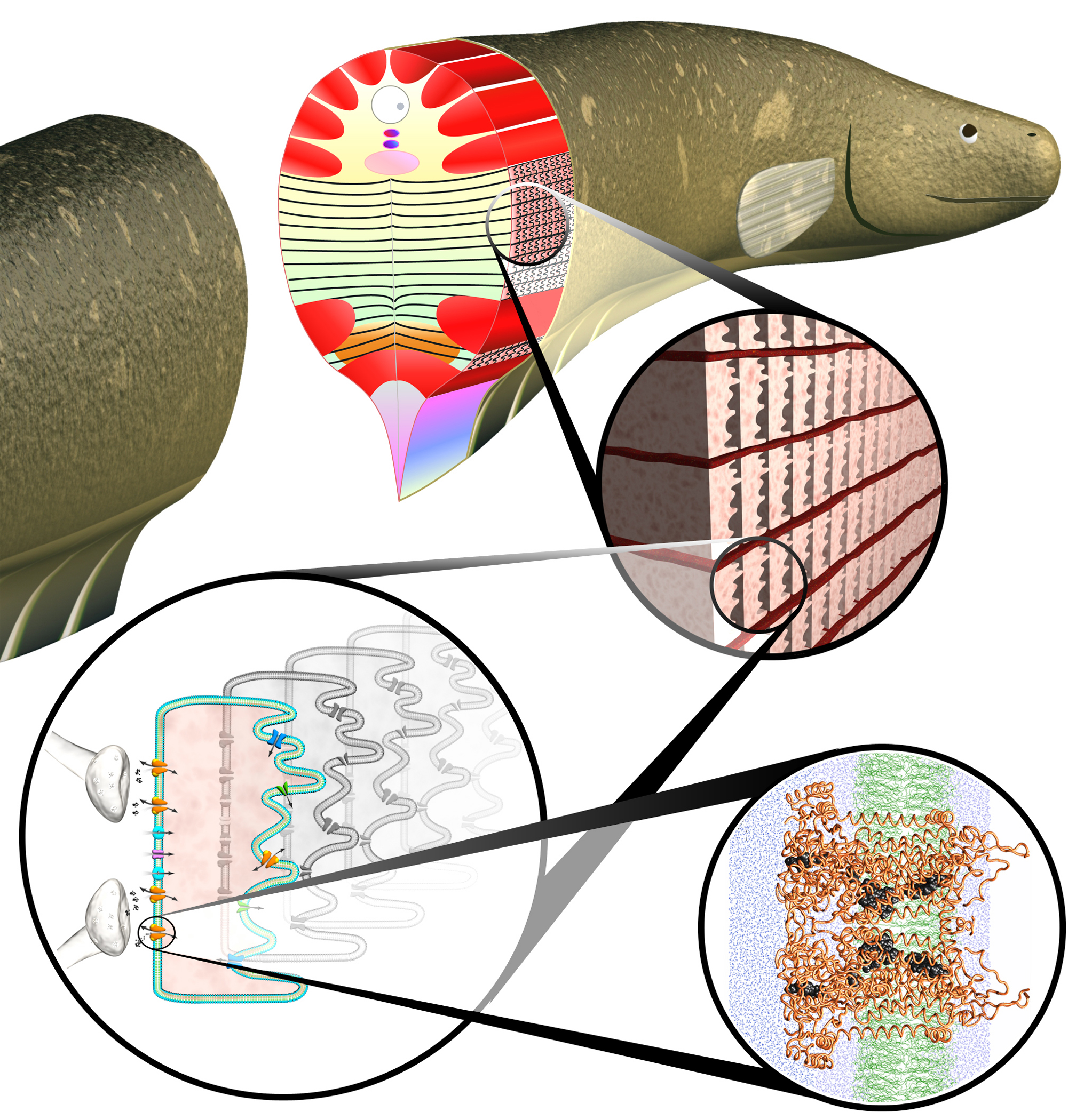 Models Of Eel Cells Suggest Electrifying Possibilities NIST