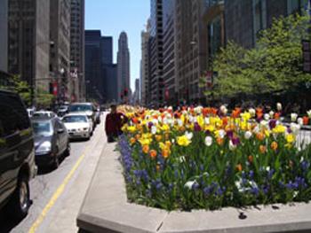 chicago_tulipas1.jpg