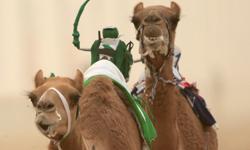 禁止買駱駝送小孩!中東賽駱駝比賽幕後大公開 | 駱駝、賽駱駝、比賽、杜拜 | 生活發現 | 妞新聞 niusnews