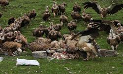 百隻禿鷹送亡者上天堂 難以直視的西藏人民天葬畫面 | 天葬,西藏,禿鷹,jhator | 生活發現 | 妞新聞 niusnews