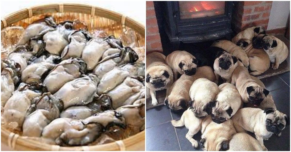 日本瘋傳!「雖然很像但不完全一樣的照片分享」可愛巴哥犬竟跟牡蠣超神似!   日本,巴哥,這是巴哥犬最常見的外貌。不過日前在Twiter有一名日本網友發現,共10 - 怪獸部落