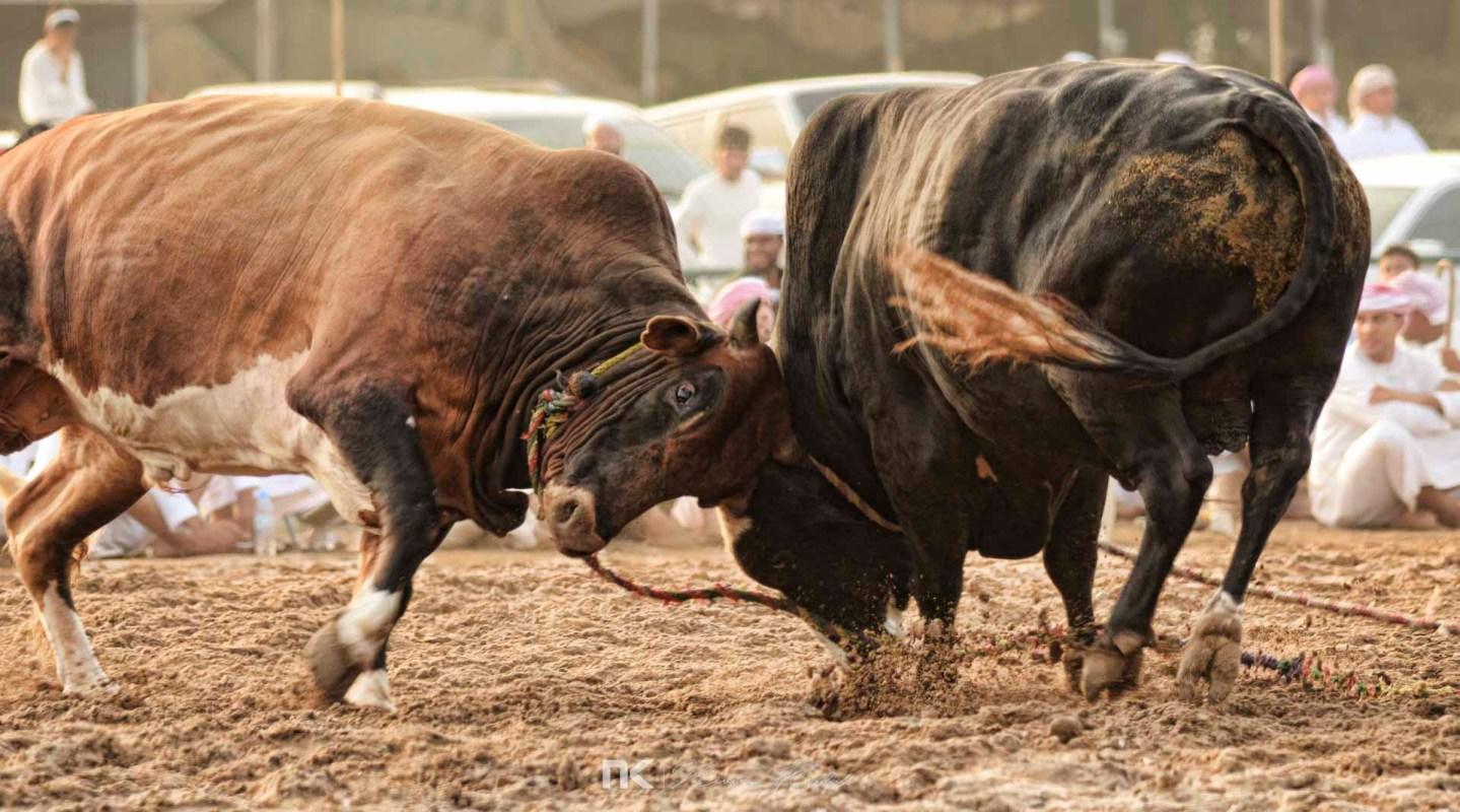 NK-Bull-Fight-12