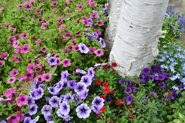 Mixed Petunias