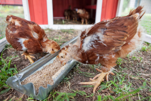 Chicken Coop Feeding Trough