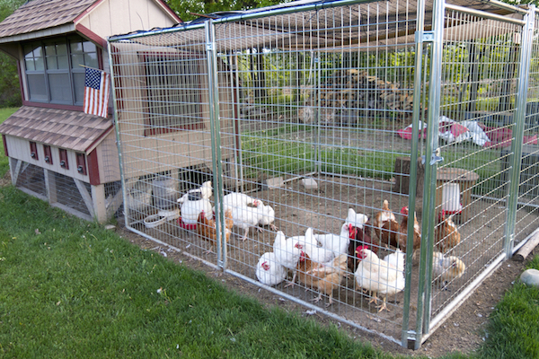 Chicken Coop Fence