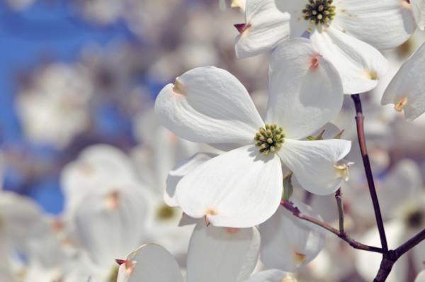 Flowering Dogwood Tree