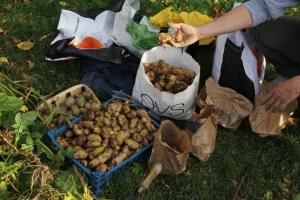 Récolte des pommes de terre des Incroyables Comestibles Chambéry Joppet