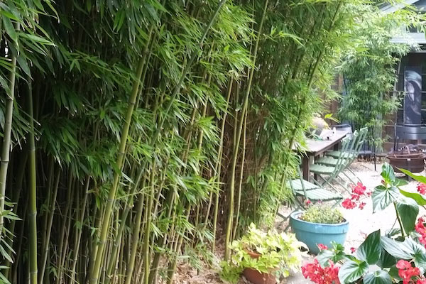 Small Clumping Bamboo Varieties