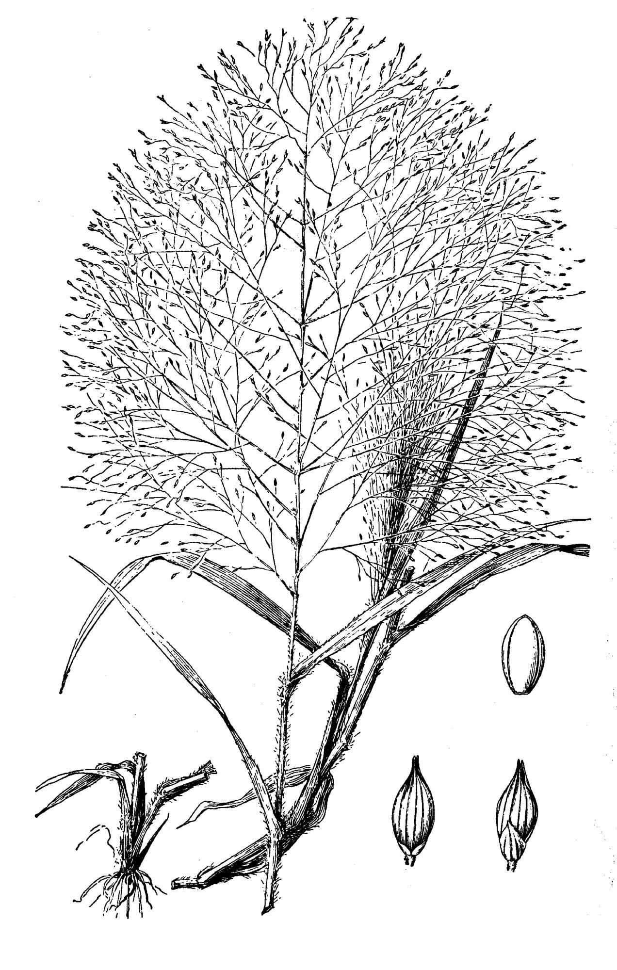 Panicum Capillare L Common Panic Grass Old Witch Grass