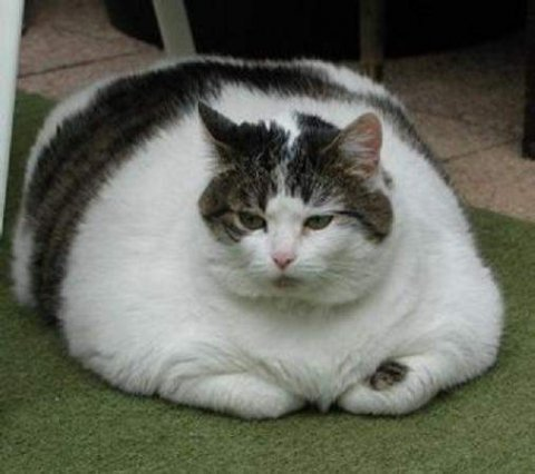 Şişman Kedi