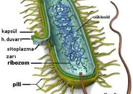 Çekirdeksiz Hücreler Nelerdir? Çekirdeği Olmayan Hücreler Nasıl Çoğalır?