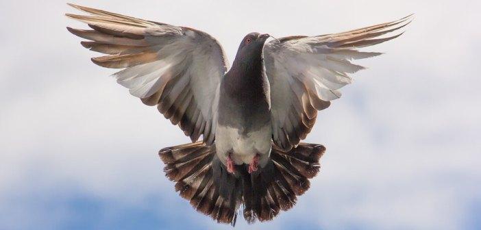 güvercin