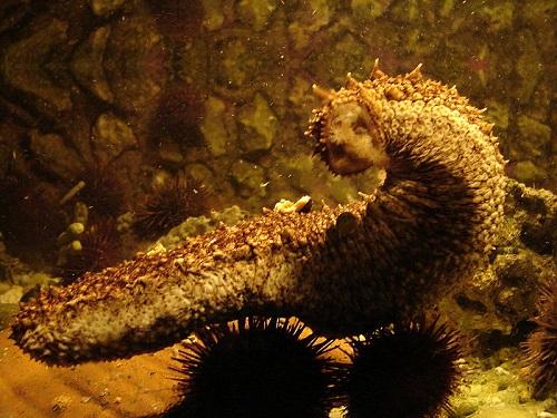 Deniz Hıyarı