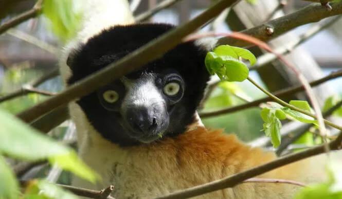 Sifaka Lemuru