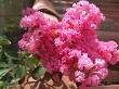 oya çiçeği