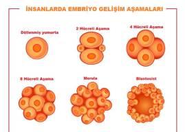 Embriyo Nedir? Nasıl Oluşur? Embriyonun Gelişim Evreleri ve Tamamlanması