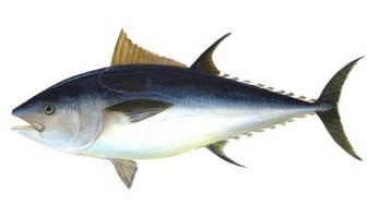Orkinos (Ton Balığı)