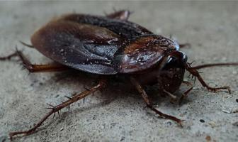 hamam böceği