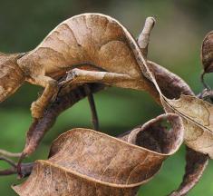 Şeytani Yaprak Kuyruklu Geko Kertenkele Hakkında İlginç Gerçekler
