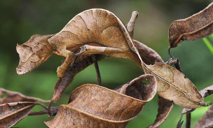 Şeytani Yaprak Kuyruklu Geko