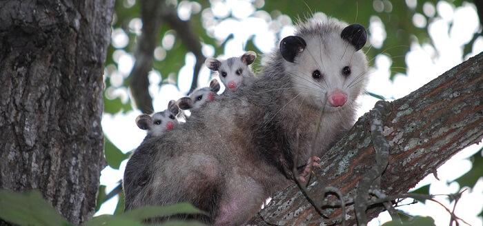 opossum keseli sıçan